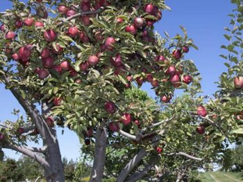 Apple Tree at U-pick apple orchard