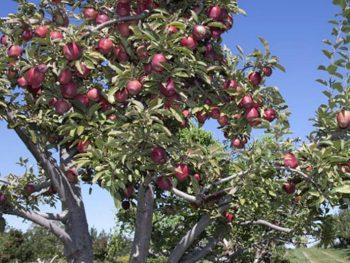 Apple Tree at U-pick apple orchard