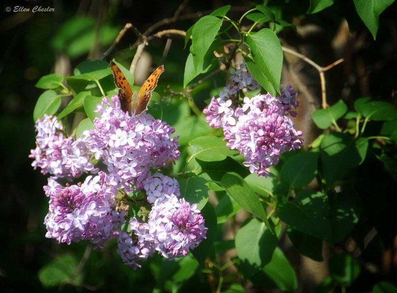 Pretty Butterfly on Lilacs