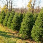 Cut Your Own Christmas Trees in Rochester and the Finger Lakes